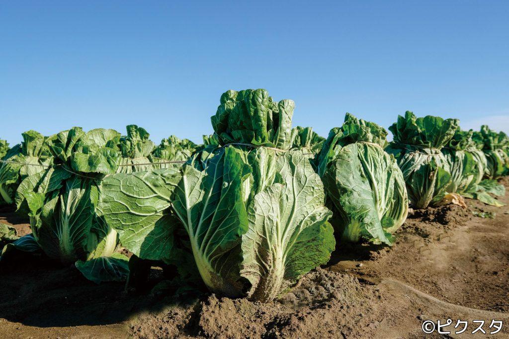 VOL.18 八千代町の白菜